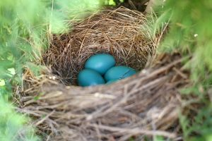 Robin's Eggs Gathered In Bird Nest In Tree